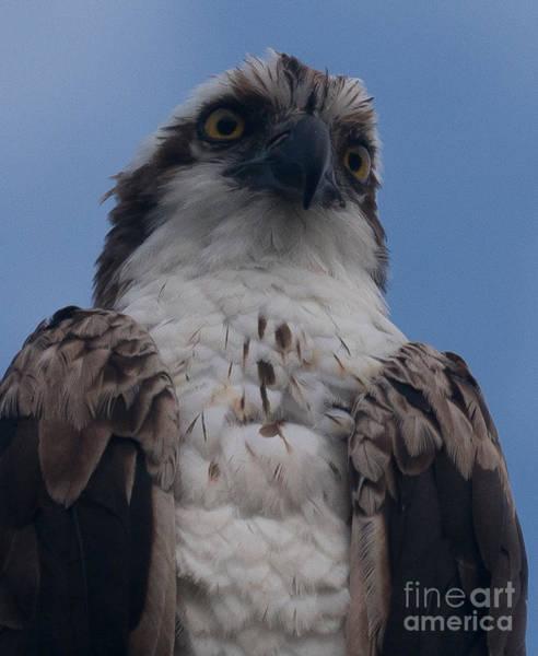 Hawk Stare Poster