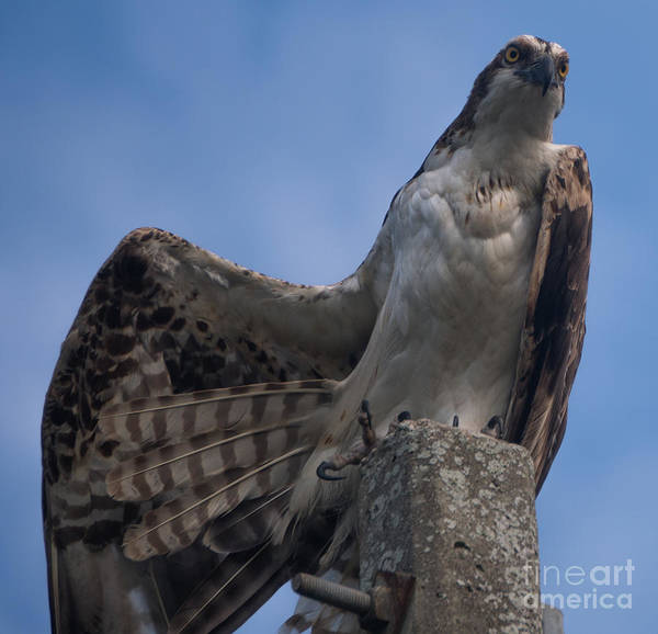 Hawk Stretching Poster