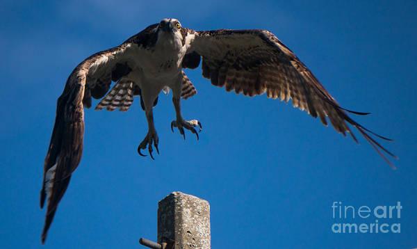Hawk Taking Off Poster