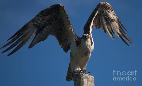 Hawk Wings Poster