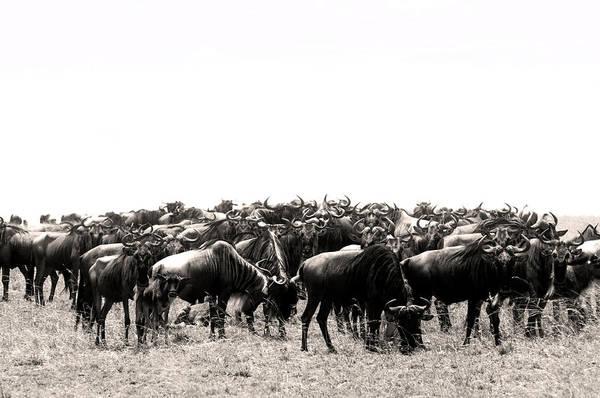 Herd Of Wildebeestes Poster