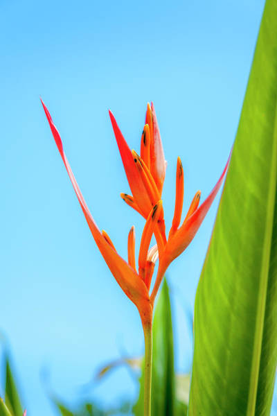 Heliconia Flower Poster