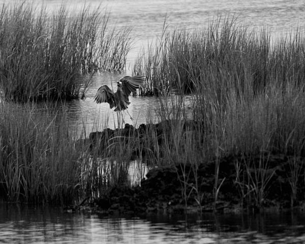 Heron And Grass In B/w Poster