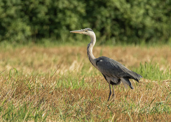 Heron In The Field Poster
