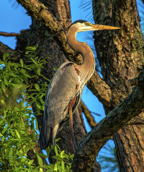 Heron In The Pine Tree Poster