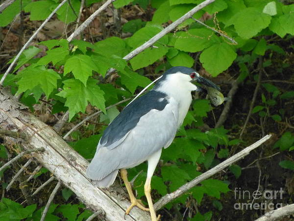 Heron With Dinner Poster