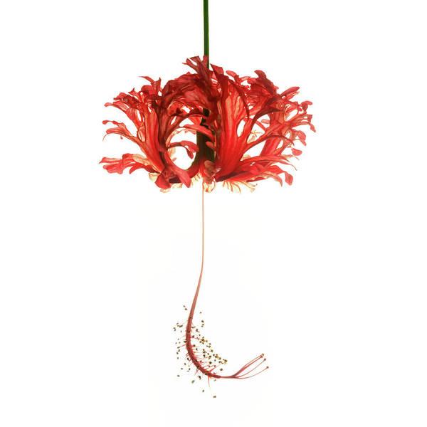 Hibiscus Schizopetalus On White Poster