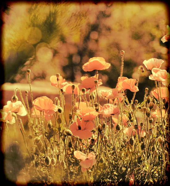 Hillside Poppies And Sunset Poster