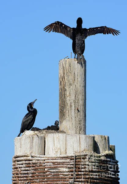 Home Sweet Home Brandt's Cormorant Style Poster