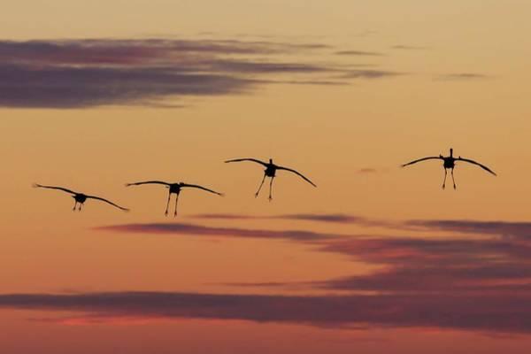 Horicon Marsh Cranes #4 Poster