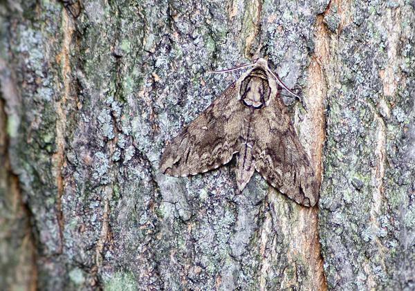 Hornworm Moth II Poster