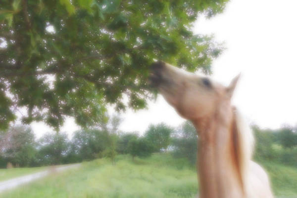 Horse Grazes In A Tree Poster
