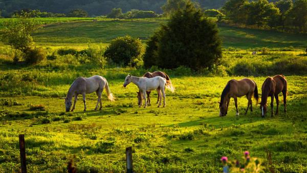 Horses Grazing In Evening Light Poster