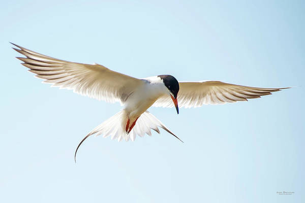 Hovering Tern Poster