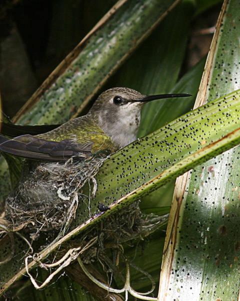 Nesting Anna's Hummingbird Poster