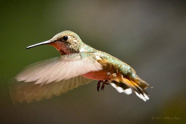 Hummingbird Facing Left Poster