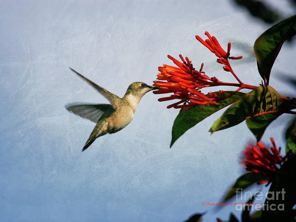 Hummingbird Red Flowers Poster