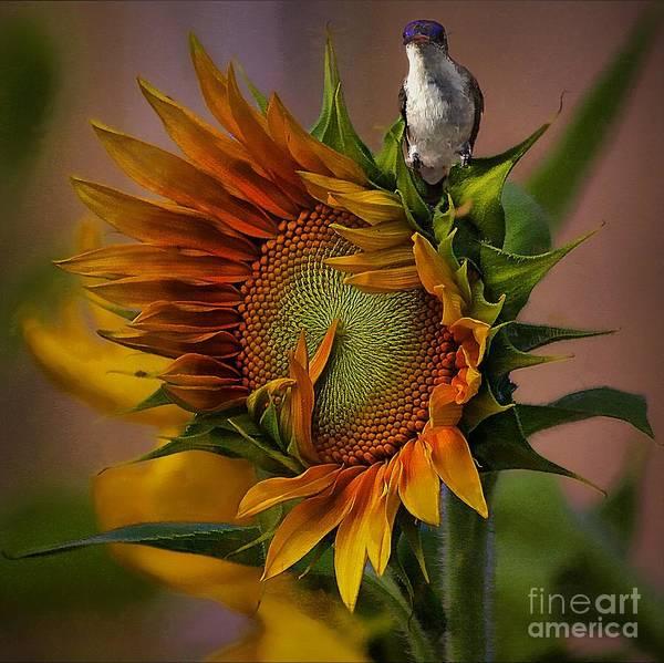Hummingbird Sitting On Top Of The Sun Poster