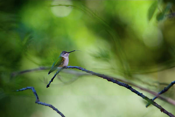 Hummingbird Sticks Out Tongue Poster