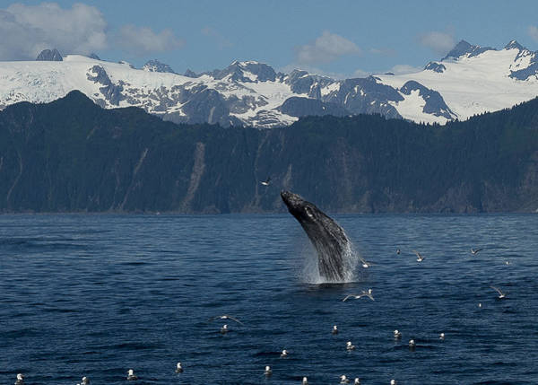 Humpback Whale Breach Seward Poster