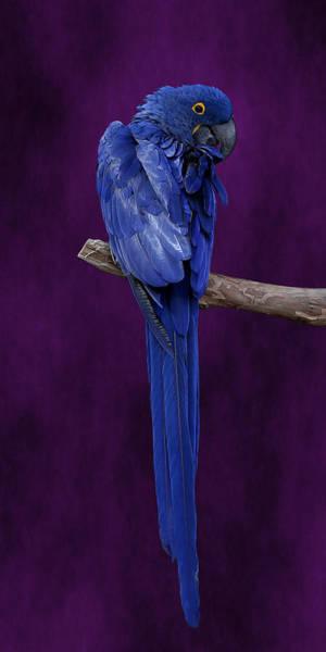 Hyacinth Macaw Panoramic Poster