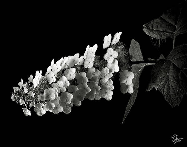 Hydrangea In Black And White Poster