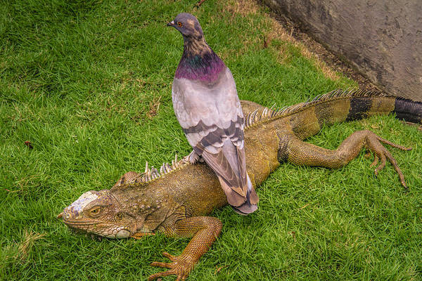 Iguana With Pigeon On Its Back Poster