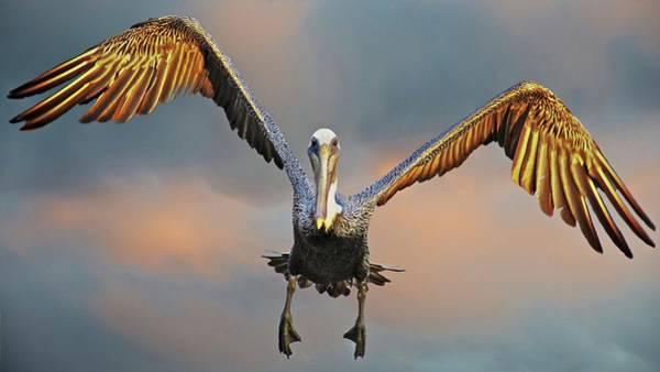 Incoming II, California Brown Pelican Poster