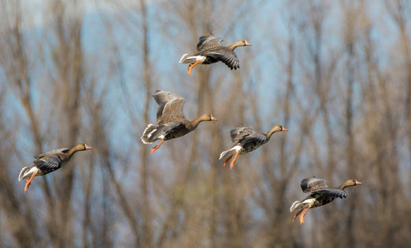 Incoming White-fronted Geese Poster