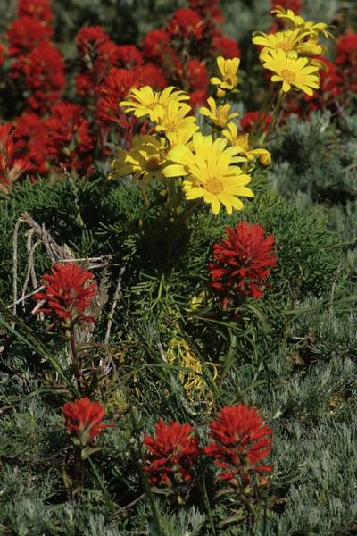 Indian Paintbrush And Sea Dahlia Blooming Poster