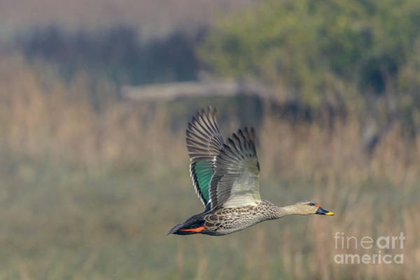 Indian Spot-billed Duck 03 Poster