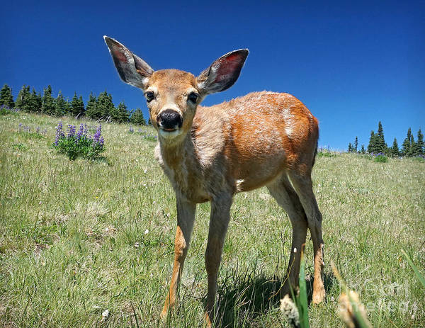 Inquisitive Blacktail Fawn Poster