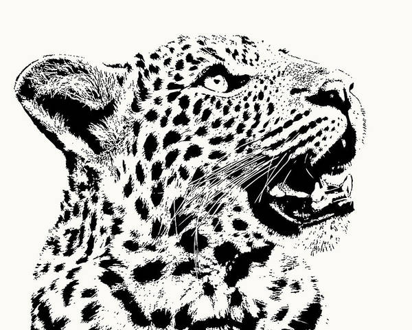 Inquisitive Young Leopard Looking Up Poster