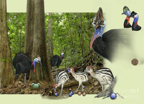 Zoo Nature Interpretation Panel Cassowaries Blue Quandong Poster