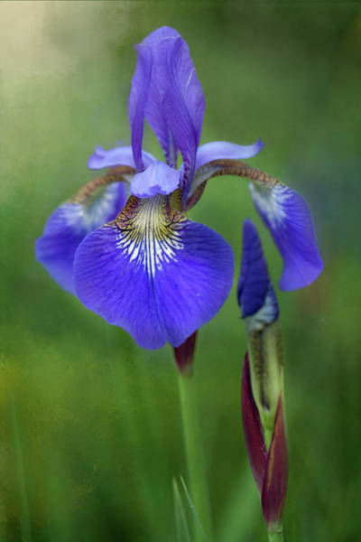Poster featuring the photograph Iris by Jacqui Boonstra