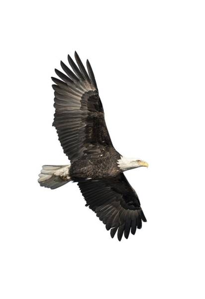 Isolated American Bald Eagle 2016-4 Poster
