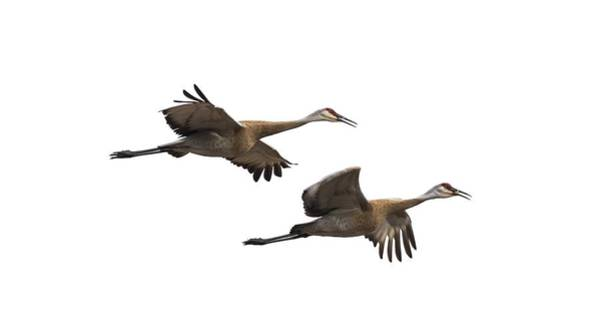 Isolated Sandhill Cranes 2016-1 Poster