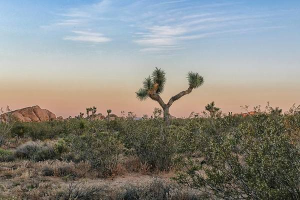 Poster featuring the photograph Joshua Tree Evening by Alison Frank