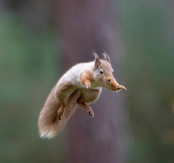 Jumping Red Squirrel Poster