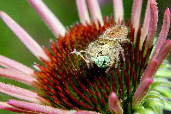 Jumping Spider With Green Weevil Snack Poster