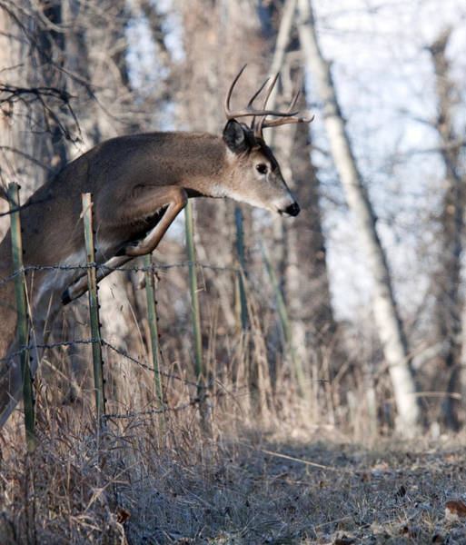 Jumping White-tail Buck Poster