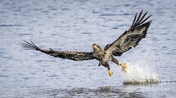 Juvenile Bald Eagle Fishing Poster
