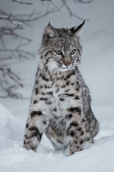 Juvenile Bobcat In The Snow Poster