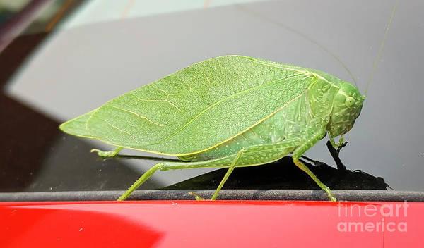 Katydids- Bush Crickets Poster