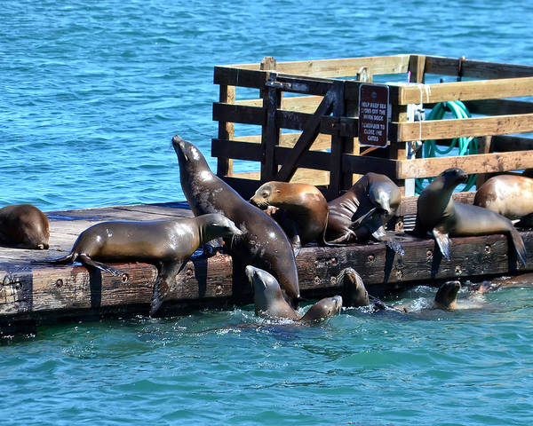 Keep Off The Dock - Sea Lions Can't Read Poster