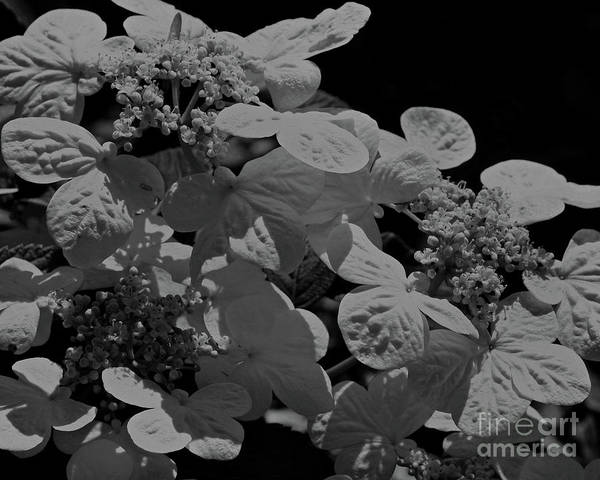 Lace Cap Hydrangea In Black And White Poster