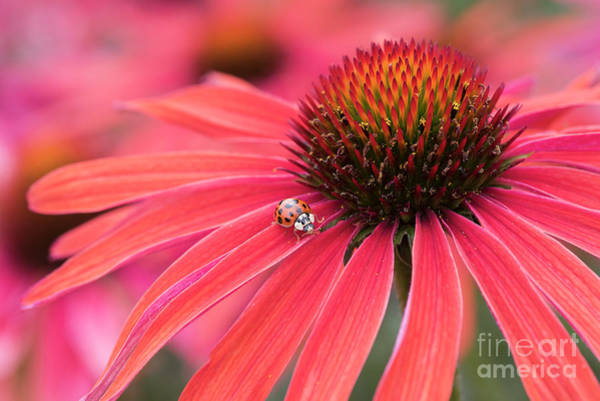 Ladybird And Echinacea Poster