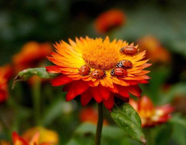 Ladybug Gathering Poster