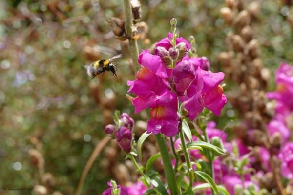 Landing Bumblebee Poster