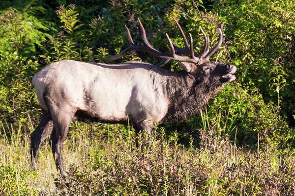 Large Bull Elk Bugling Poster